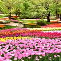 撮って出し。。メルヘンな風景 昭和記念公園チューリップ(2)