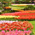 撮って出し。。メルヘンな風景 昭和記念公園チューリップ(5)