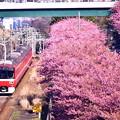 20200223 三浦海岸河津桜 京急線とコラボ河津桜(1)