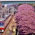20200223 三浦海岸河津桜 京急線とコラボ河津桜(2)