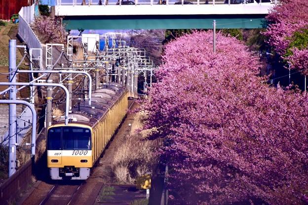 20200223 三浦海岸河津桜 京急線とコラボ河津桜(3)