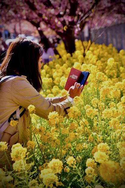 20200223 三浦海岸河津桜 綺麗咲く菜の花