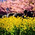 20200223 三浦海岸河津桜と菜の花