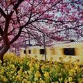 20200223 三浦海岸河津桜とハッピートレイン