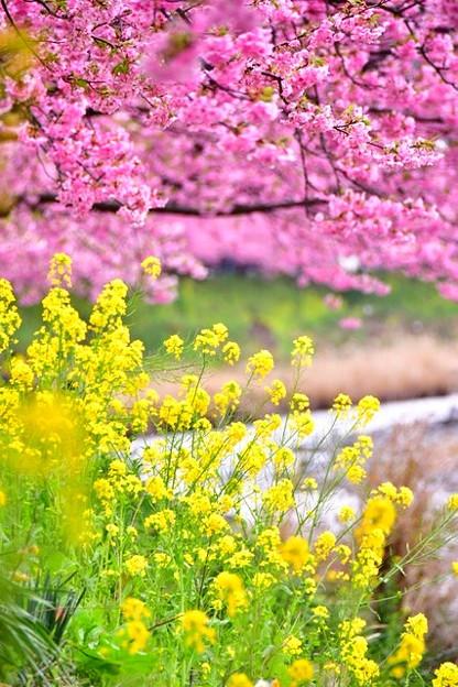 伊豆河津の河津桜。。菜の花と