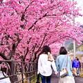 伊豆河津の河津桜淡いピンク。。