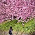 伊豆河津の河津桜。。夢中で