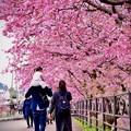 親子で伊豆河津桜を。。散歩