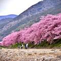 Photos: 河川敷から満開の伊豆河津桜
