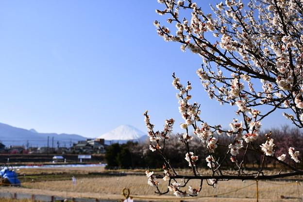 曽我梅林の梅と真っ白な富士山。。