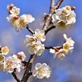 今年も曽我梅林の梅は満開。。