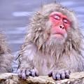 地獄谷温泉の野猿公苑のお猿たち(2)