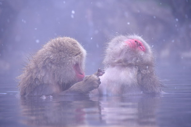 地獄谷温泉の野猿公苑のお猿たち(3)