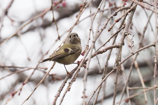 Photos: 蕾の枝垂桜にキクイタダキ0318 (9)