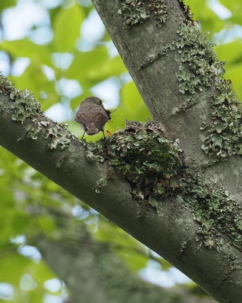 コサメビタキの巣 (25)t