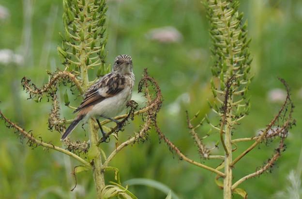 ノビタキ幼鳥0714 (2)t