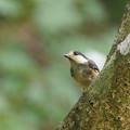 ヤマガラ幼鳥0721t