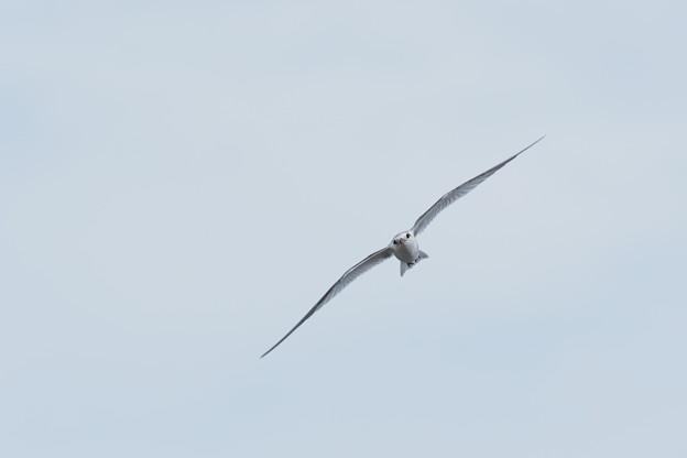 コアジサシ幼鳥0728 (3)