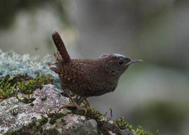 ミソサザイ幼鳥0804 (2)t