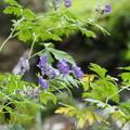 トリカブトの花0813