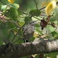 イソヒヨドリ♀幼鳥0814