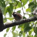 ヤマガラ幼鳥0818