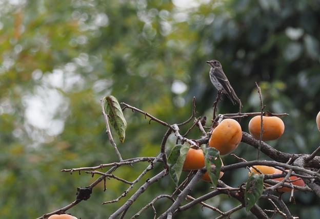 柿の木にエゾビタキ1007 (1)t