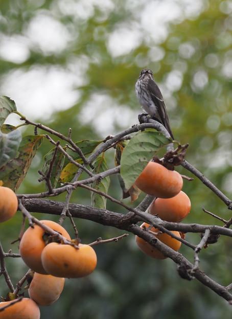 柿の木にエゾビタキ1007 (7)t