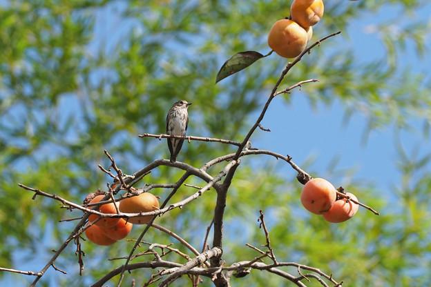 柿の木にエゾビタキ1007 (9)