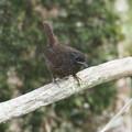 ミソサザイ幼鳥0808 (2)
