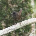 ミソサザイ幼鳥0808 (1)
