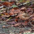 オオマシコ幼鳥2羽1128 (3)