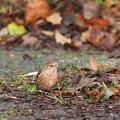 オオマシコ幼鳥2羽1128 (5)