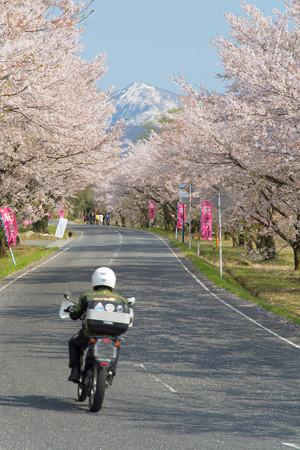 大山・豊房の桜並木・1