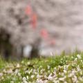 写真: ふれあい広場の桜-3