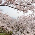 Photos: 須磨浦公園の桜・3