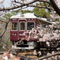 Photos: 2019夙川公園の桜・1
