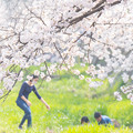 Photos: 2019夙川公園の桜・2