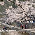 2019夙川公園の桜・6
