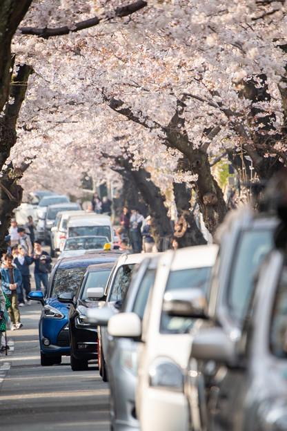 2019摩耶の桜トンネル・2