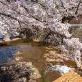 2019有馬温泉の桜・3
