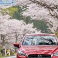 Photos: 2019海津大崎の桜・3