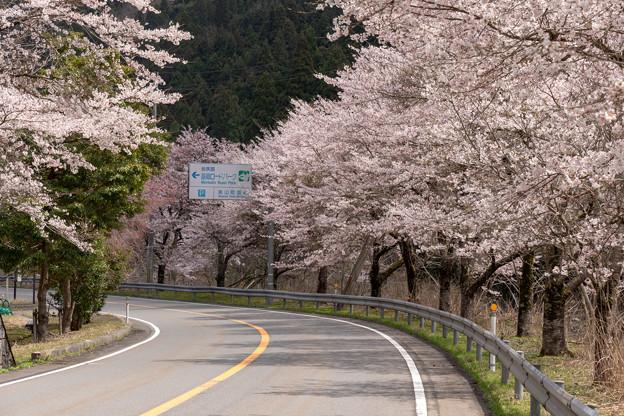 R162美山町の桜