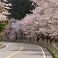 Photos: R162美山町の桜
