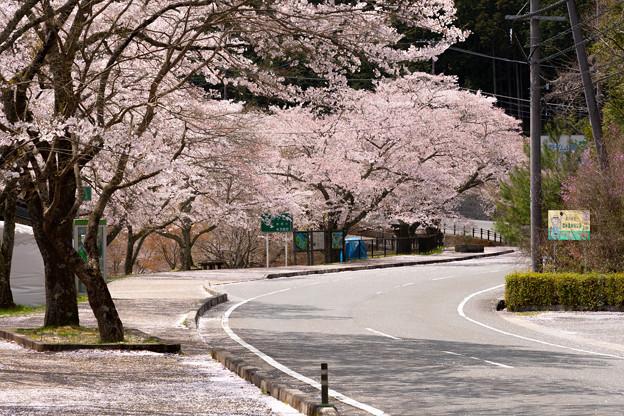 美山町大野ダムの桜・1