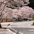 Photos: 美山町大野ダムの桜・1