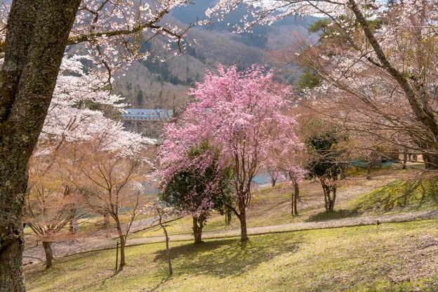 美山町大野ダムの桜・2