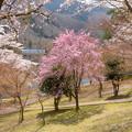 Photos: 美山町大野ダムの桜・2