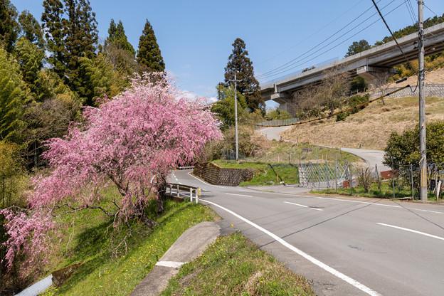 京都r59の桜