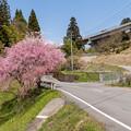 Photos: 京都r59の桜